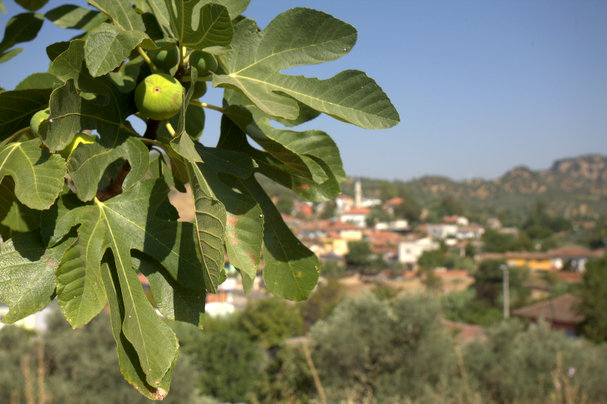 Fig branch with village of Hıdırbeyli in the background