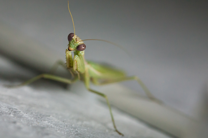 Praying mantis wants in on the photography action.