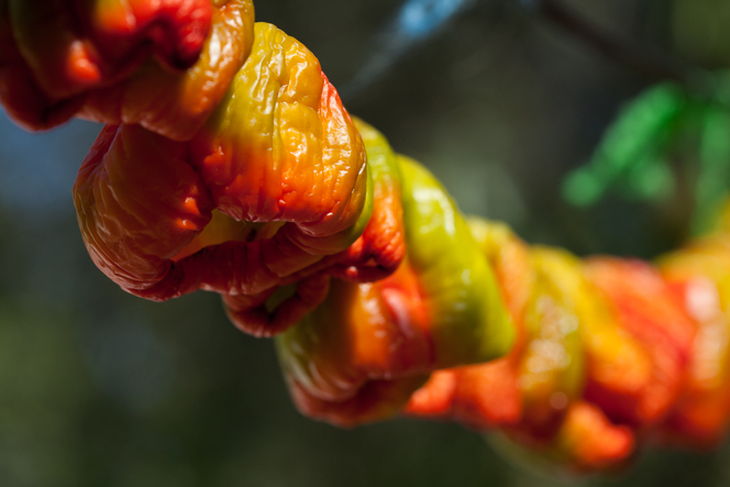 Green peppers turn red as they dry. Maybe you knew this but I was surprised.
