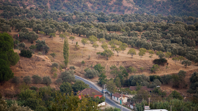 We're the last house on the right, and that's the fig orchard up on the hillside. The fig trees are much greener than the surrounding olives.