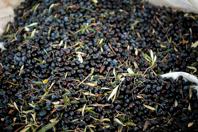 Freshly harvested olives.