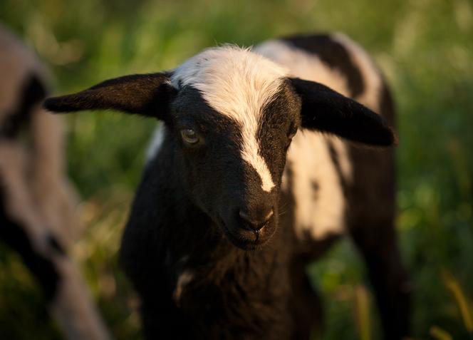 lambs-2