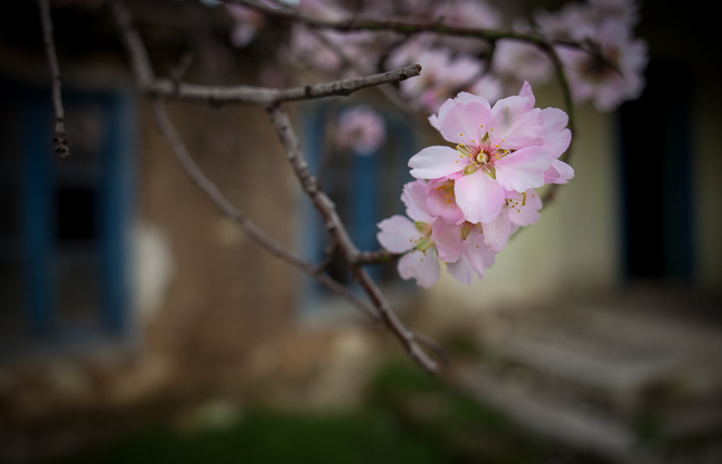 Spring returns: almond blossoms in the neighbour's garden