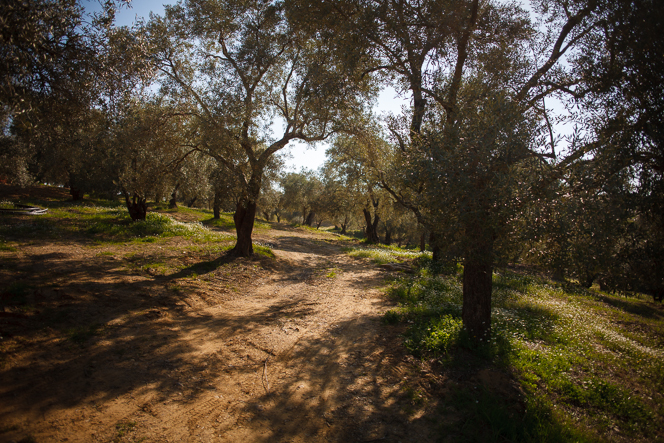 Spring morning in the olive grove